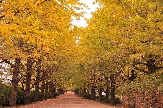 國營昭和記念公園銀杏大道。圖片取自:http://m-miya.net/blog/japan-ginkgo-biloba.html