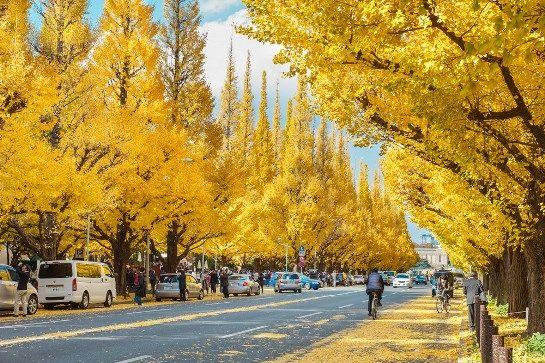 新宿外苑銀杏大道。圖片取自:http://m-miya.net/blog/japan-ginkgo-biloba.html