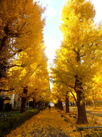 慶應大學日吉校區銀杏大道。圖片取自:http://blog.goo.ne.jp/ktoh1945/e/efca3ab1ec7ca7a895d7272dae7e3fd6