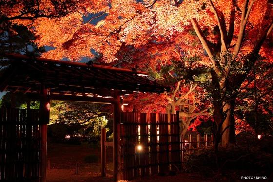 六義園楓紅。圖片取自:http://ppt.cc/5aX7A