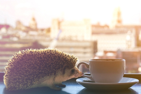 hedgehog-image1