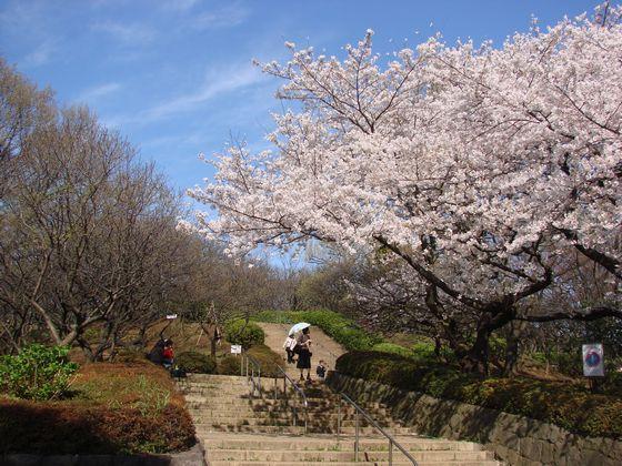 sakura-2007-hanegi_001